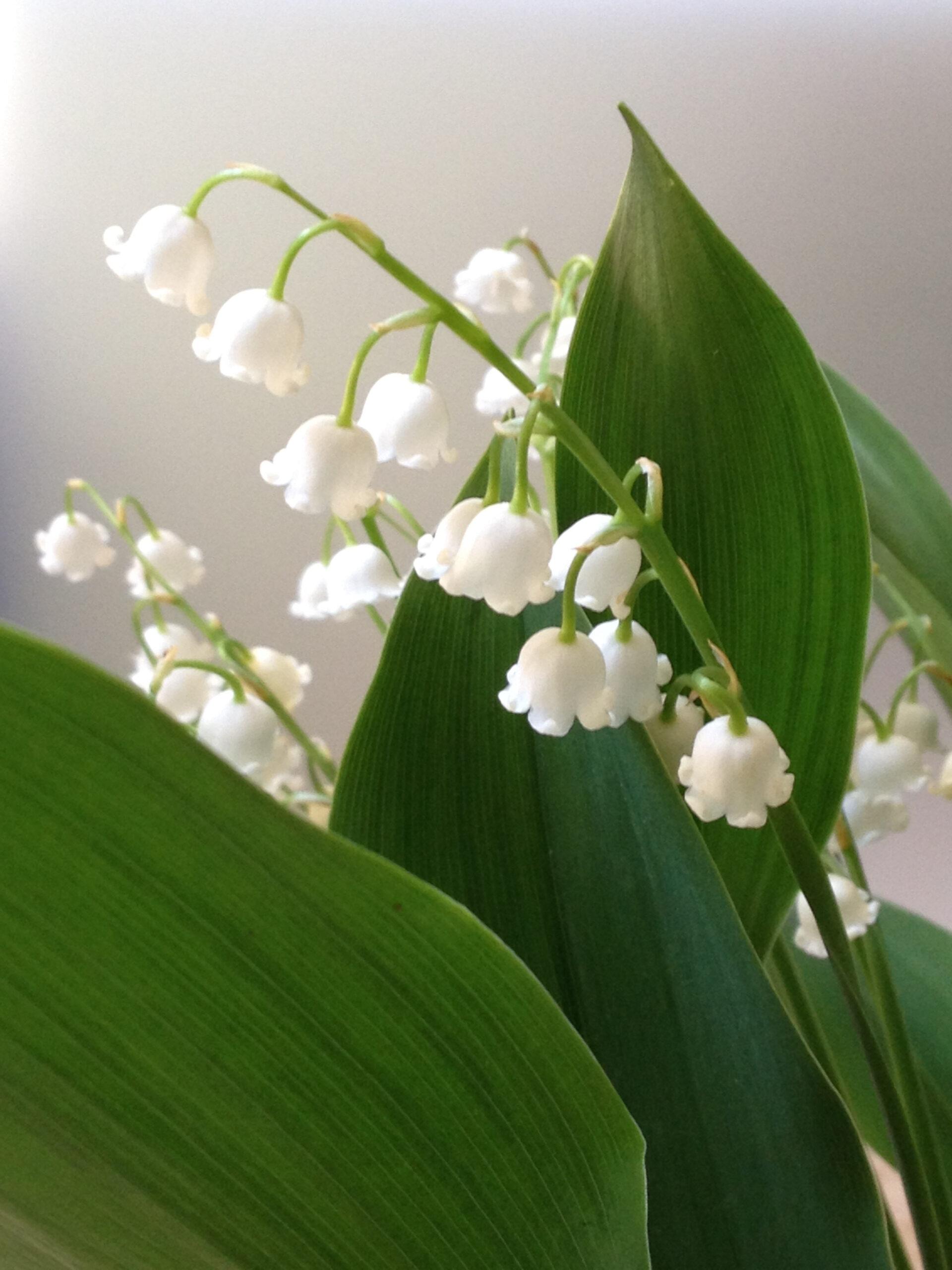 Liljekonvalj, borgerlig begravning hos Anna Larsson