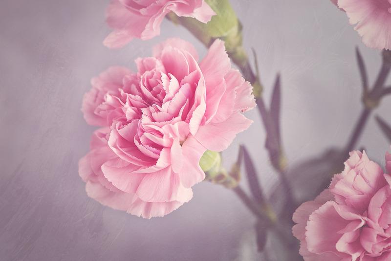 rosa nejlikor - borgerlig begravning